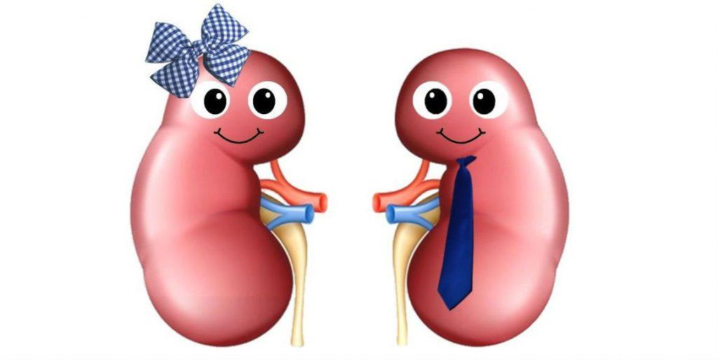 He She Kidneys